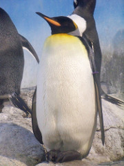 Penguin will give their mate a pebble as way of proposing.