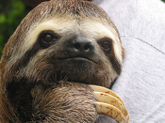 Sloths mistaken grab their arms instead of the branches of the tree, and they fall to their deaths.