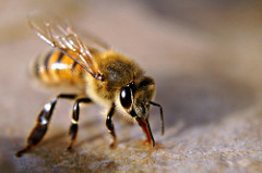 When a male bee climaxes, their testicles explode then they die.