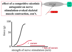 Effect of a Competitive Antagonist on Skeletal Muscle Contraction Evoked by Nerve Stimulation