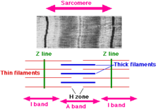Which region corresponds to the myosin filaments?