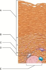 Which skin-color-associated, pigment-producing cell is located in the labeled layer D?  A) fibroblast  B) tactile (Merkel) cell  C) keratinocyte  D) melanocyte